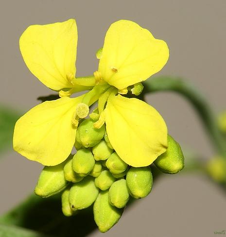 Mustár virág