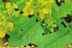 Mustár mag-virággal